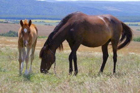 Horse and foal grazing in a meadow photo