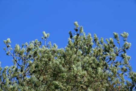 Spruce branches with cones on a background of blue sky in a bright sunny day  photo