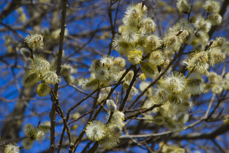 Fluffy soft willow buds in early spring. photo