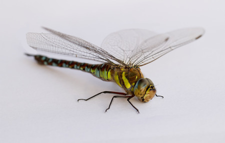 pondhawk: Dragonfly on a white background. Isolate.  Stock Photo