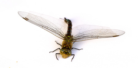 Dragonfly on white background. Isolate. Close-up. Stock Photo