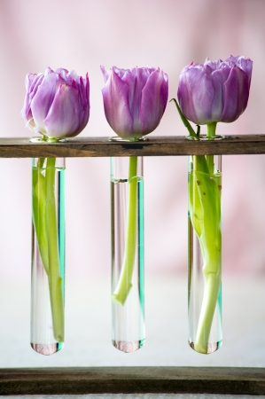 Three purple tulips in a small  glass flasks with water  Shallow DOF photo