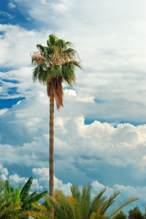 Palm tree over background of blue sky with cumulus clouds Stock Photo - 17685053