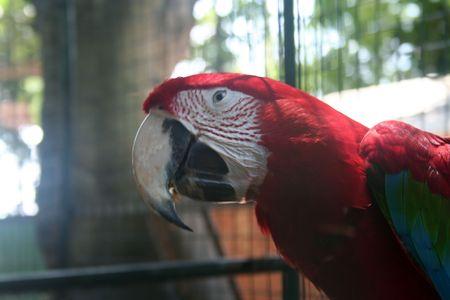 Green-winged macaw (Ara chloroptera) photo