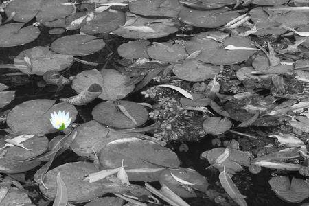Lotus - Black & WHite photo