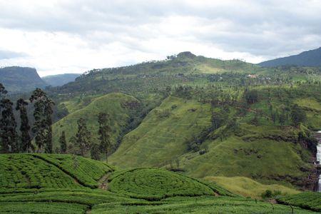 Tea plantations in Sri Lanka photo
