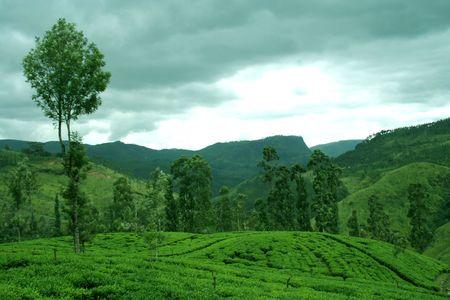 kerala culture: Tea plantations in Sri Lanka Stock Photo