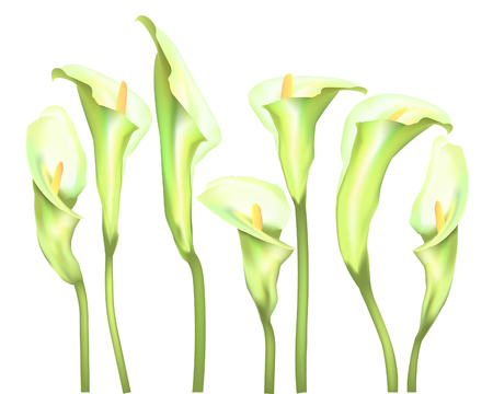 Botanical banner with flowers white Calla lilies. Design for natural cosmetics, health and nutrition. Can be used as greeting card or wedding invitation. Vector illustration