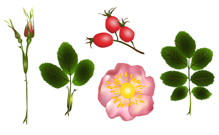 Set of isolated leaves, buds and a flower of a dogrose on a white background Illustration