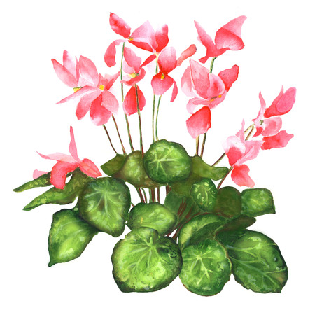 Cyclamen isolated on white background - illustration watercolor. Botanical illustration. Watercolor painting