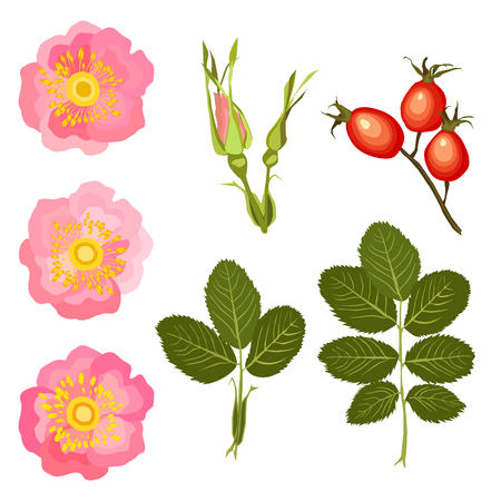 Set of isolated leaves, buds and a flower of a dogrose on a white background. Vector illustration
