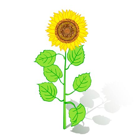 Sunflower with green leaves isolated on white background. Yellow sun flowers on white background.  Vector Illustration Imagens - 126176469