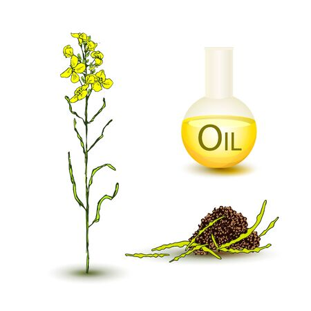 Set canola plant with yellow flowers, pods with seeds, seeds and a glass bottle with canola seed oil. Sprig with leaves, buds, flowers. Vector illustration isolated on white background. Imagens - 128482237