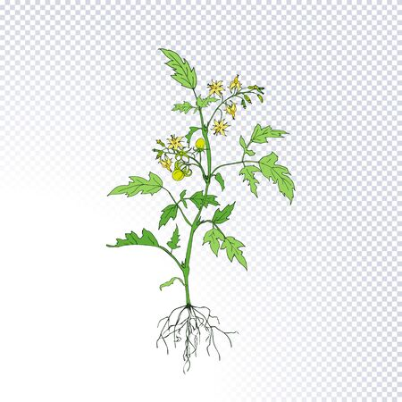 Plant tomato with green tomatoes, flowers, underground roots system hand drawn in line art style isolated on transparent. Ideal for the design packaging materials, organic farm products. Vector