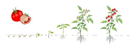 Tomato stage growth. Stages of growth from seed and sprout to adult plant with underground roots system, fruits. Life cycle of tomato plant. Organic gardening. Vector cartoon illustration on white