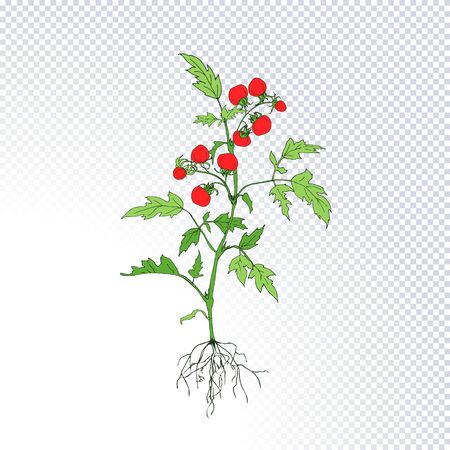 Fruiting plant tomato with ripe red tomatoes, underground roots system hand drawn in line art style isolated on transparent. Ideal for the design packaging materials, organic farm products. Vector