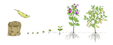 Legume crops in line art style isolated on white. Phases plant growing. Seeds sprouts in soil, plants with flowers, beans. Ideal for the design packaging materials, organic farm products. Vector Vecteurs