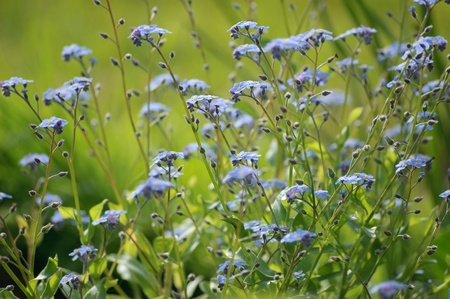 Flowers forget-me-not