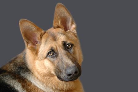 perro policia: Retrato de joven pastor alem�n