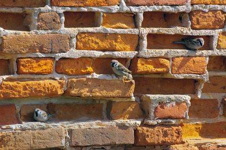 Oude bakstenen muur met mussen