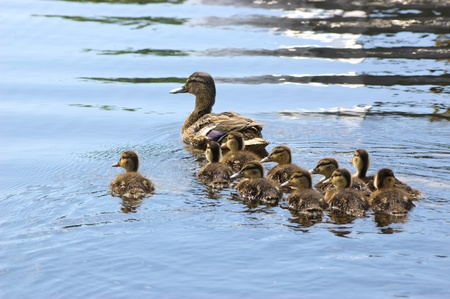 brood: Duck family