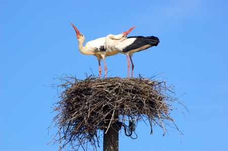 Marriage ritual of white storks