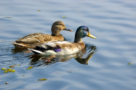 Drake and duck swimming in water Stock Photo