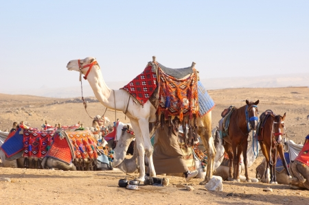 mid life: Camel and horses in egyptian desert