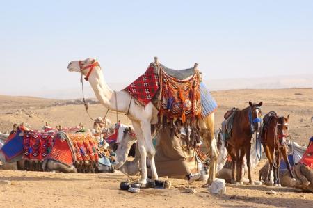 Kameel en paarden in Egyptische woestijn Stockfoto