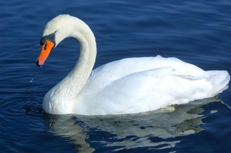 Swan zwemmen in het water