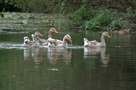 Ganzen lopen in het water Stockfoto