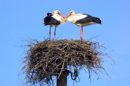 Paar witte ooievaars in het nest