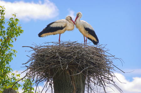 animal mating: Couple of white storks in the nest