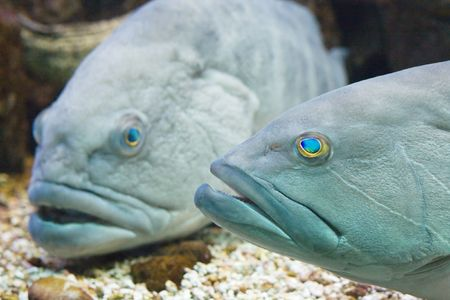 epinephelus: An underwater photo of 2 white groupers (epinephelus aeneus)