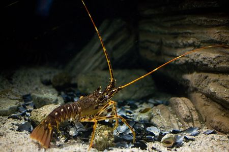A photo of a spiny lobster - palinurus vulgaris