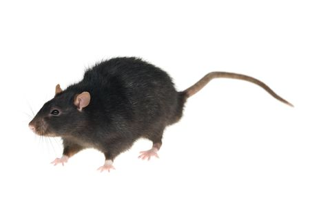 A photo of a black rat, isolated on white