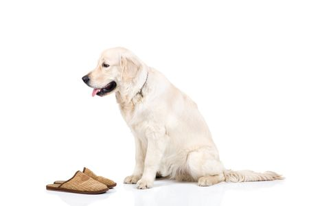 bring: A nine month old golden retriever brought slippers