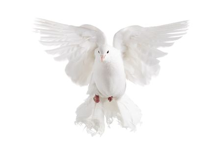 white dove: A white dove flying, isolated on white