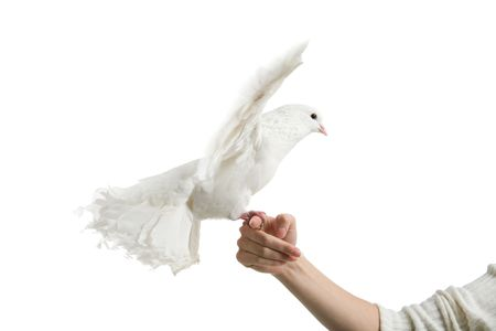 A white dove and womans hand, isolated on white Stock Photo
