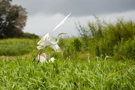 Photo of a white heron in the wild nature Stock Photo - 5261299