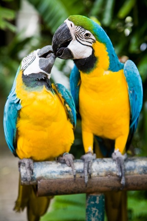 cute bird: Photo of 2 parrots kissing, shallow depth of field