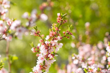 twig: sakura cherry flowers on twig