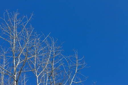 cottonwood tree: dry cottonwood tree on background blue sky