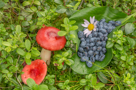 russula and blue berries on grass with fern leaves and cranberries Stock Photo