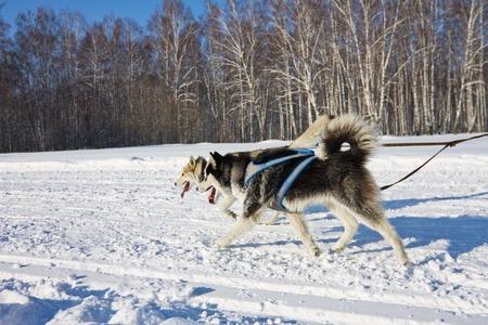 mushing: Husk dog in harness run on the road in winter Stock Photo