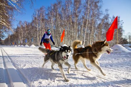 mushing: Husky dog ??in harness running through the snow