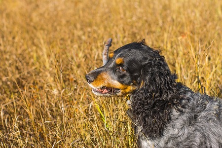 yellow teeth: Russian spaniel dog with a cane in the teeth in a yellow grass