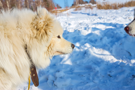 White fluffy Samoyed on a leash. close-up portrait Stock Photo