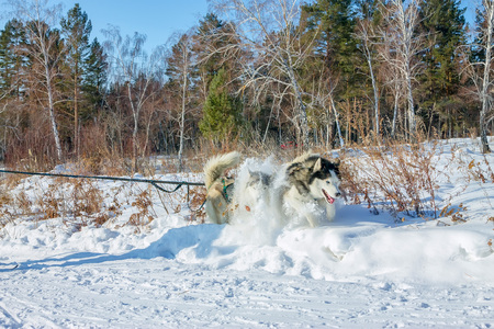 couple Husky in harness dug into the snow while joggin Stock Photo