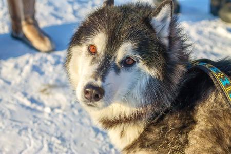 Alaskan Malamute dog portrait in front camera